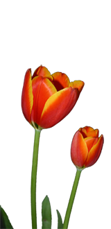 flower-tulip-left